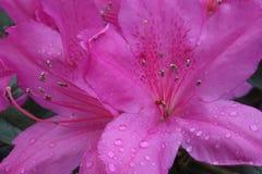 Azaleen in der Blüte stockbilder