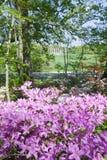 Azaleen im Frühjahr im nationalen Arboretum mit Kapitol-Spalten im Hintergrund, Washington D C Lizenzfreies Stockbild