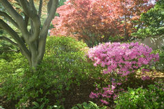Azaleen im Frühjahr im nationalen Arboretum, Washington D C Lizenzfreies Stockfoto