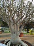 Azaleenbaumwurzeln Stockbilder