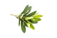 Azaleenblatt stockfotos
