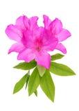 Azaleenblume Stockfoto