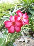 Azaleenblume Stockbilder
