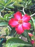 Azaleenblume Stockbild