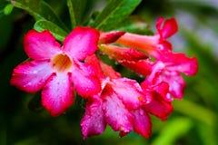 Azaleenblumen und grüner Hintergrund Stockfoto