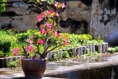 Azaleenblumenbaum im Topf setzte an konkreten Boden in den Garten ein Stockfoto