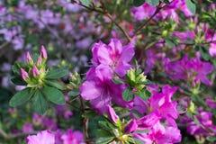 Azaleenblumenrosa Stockfotos