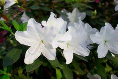 Azaleenblumenweiß Lizenzfreies Stockbild