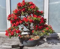 Azaleenbonsaibaum stockbild