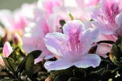 Azaleia. Azalea is a plant native to China and Japan that today can be found forming living fences, composing masses in gardens, brightening corridors and Stock Image