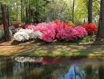 Azaleor på Callaway trädgårdar arkivbilder