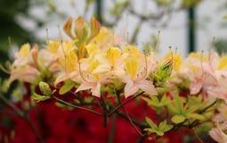 Azalia «Daviesii « Kwitnąć kwiaty Różowy Żółty różanecznik obrazy stock