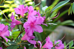 Azalia arbusto con las flores rosadas hermosas Fotografía de archivo