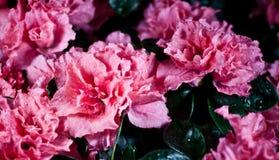 Azalia cor-de-rosa Imagem de Stock