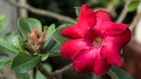 Azalia flower. Stock Photos
