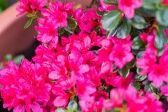 Azalia karmazynów kwiaty Fotografia Stock