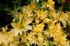 Azalia koloru żółtego kwiaty obraz royalty free