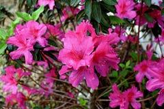 Azalia krzak w kwiacie Zdjęcia Royalty Free