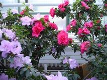 Azalia kwiat zdjęcia royalty free
