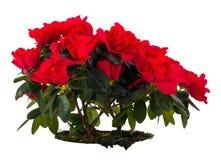 azalia kwiat Fotografia Stock