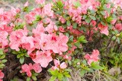 Azalia kwiat Zdjęcie Royalty Free