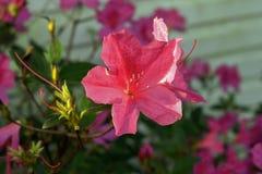 Azalia kwiat Obraz Royalty Free