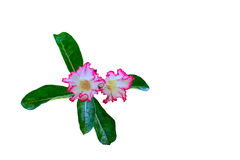 Azalia kwiaty Fotografia Stock