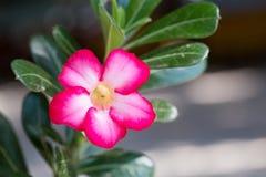 Azalia kwitnie - czerwonych kwiaty przy naturą dla tła Fotografia Stock