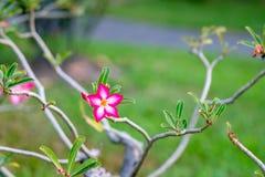 Azalia kwitnie w ogródzie zdjęcie royalty free