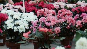 Azalia kwitnie w szklarni zbiory