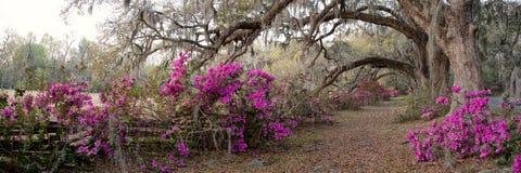 Azalia ogród w Charleston, SC zdjęcia royalty free