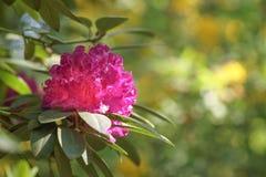 Azalia różowy kwiat Fotografia Royalty Free