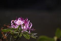 Azalia różowy kwiat Zdjęcia Stock