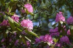 Azalia różowy kwiat Zdjęcia Royalty Free