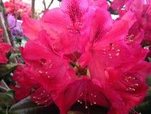 Azalia, Rododendronowa roślina Kwitnie w Manhattan, Nowy Jork, NY w wiośnie Zdjęcie Stock