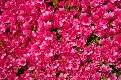 Azalia w pełnym kwiacie Obrazy Stock