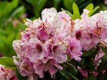 Azalie, kwiaty kwitnie w wio?nie obrazy stock