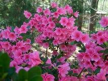 Azalieaboom royalty-vrije stock afbeeldingen