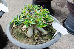 Azalii drzewa r w garnku Fotografia Royalty Free