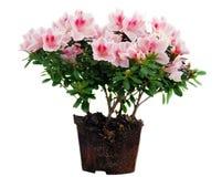 azalii flowerpot kwiatów menchie Obrazy Royalty Free