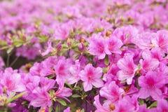 azalii kwitnienia menchie Zdjęcia Royalty Free