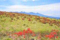 Azalii kwitnienie w plateau zdjęcia stock