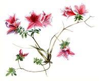 Azalii menchie, kwitnie gałąź akwareli nakreślenie Izolated/ Fotografia Stock