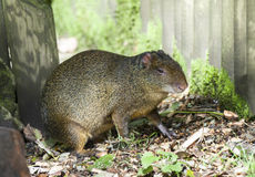 Azara Agouti Royalty Free Stock Photos