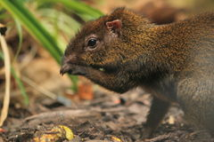 Azara's agouti Stock Photo