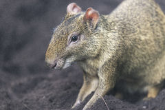 Azara& x27;s Agouti. S are a large rodent from South America Stock Images