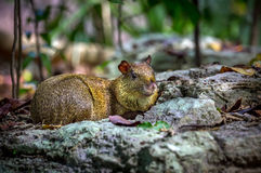 Azara's Agouti rodent Royalty Free Stock Photography