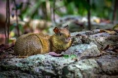 Azara's Agouti rodent. Close up of cute Azara's Agouti rodent Royalty Free Stock Photography