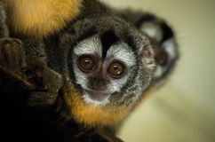 Azara's night monkey Royalty Free Stock Images
