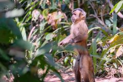 Azaras`s Capuchin or Hooded Capuchin, Sapajus Cay, Simia Apella or Cebus Apella, Nobres, Mato Grosso, Pantanal, Brazil. Azaras`s Capuchin or Hooded Capuchin stock photo